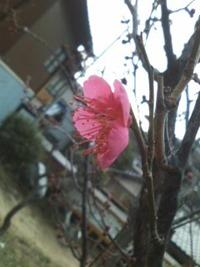 菅公腰かけ岩付近の梅